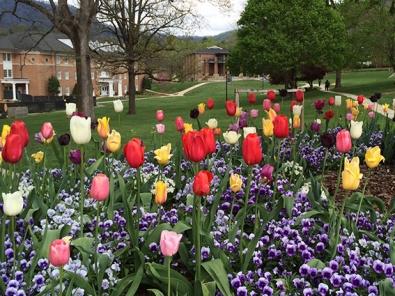 YHC's famous tulips