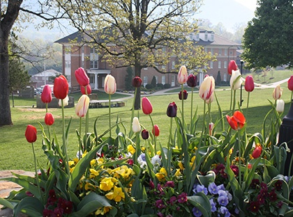 tulips on campus