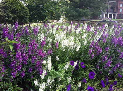 purple flowers on campus